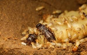termite-queen