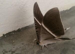 Tropical Swallowtail Moth Lyssa zampa 1 442x321 300x218 - Dedetizadora de Traças em Guarulhos
