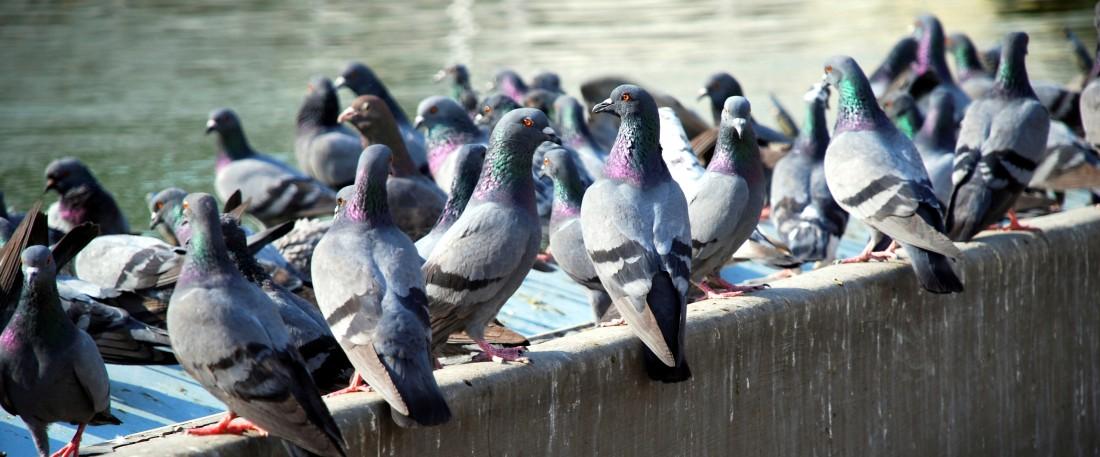 pigeons cropped e1465659939345 - Controle de Pombos